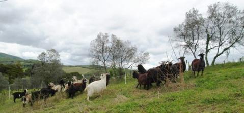Chianti classico Kasmirske ovce