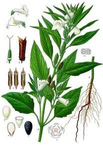 Sezam biljka