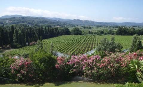 Ca' Marcanda: pogled na vinograd...