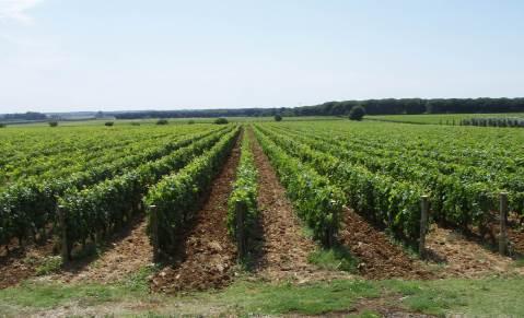 Le Macchiole: vinograd pored podruma