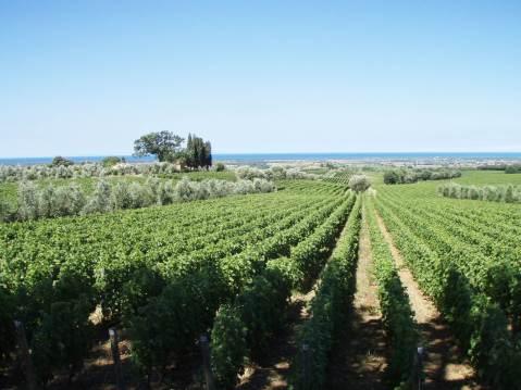 Ornellaia, vinograd Bellaria. U pozadini se vidi more