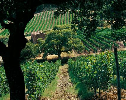 Sassicaia, vinograd u brdu