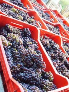 Kakvo se grožđe donese u podrum, takvo će se vino i piti, dakako što je grožđe bolje veće su šanse da i vino bude bolje