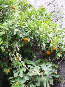 ... te divlja naranča, koja raste uz istu tu kuću