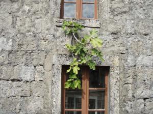 Smokva - iz kamene kuće...