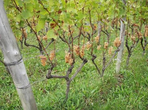 Ribolla gialla ili Zlatna rebula u Gravnerovu vinogradu potkraj listopada 2016.