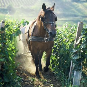 S konjem u trsju/laboring the vine with a horse
